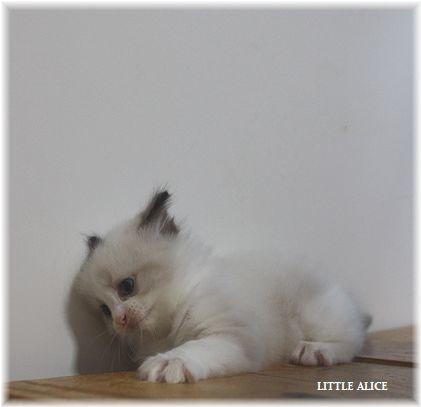 ☆ラグド-ルの仔猫~楽しい自由時間。_c0080132_11050607.jpg