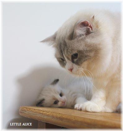 ☆ラグド-ルの仔猫~楽しい自由時間。_c0080132_11054972.jpg