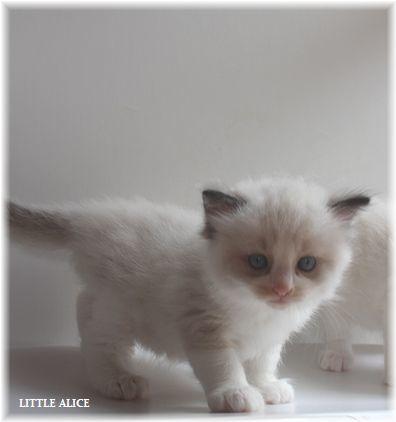 ☆ラグド-ルの仔猫~楽しい自由時間。_c0080132_11063873.jpg