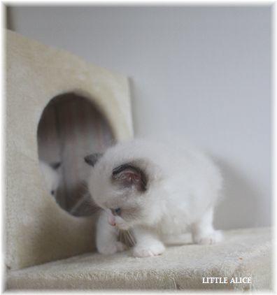 ☆ラグド-ルの仔猫~楽しい自由時間。_c0080132_11071381.jpg