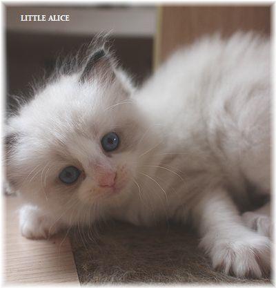 ☆ラグド-ルの仔猫~楽しい自由時間。_c0080132_11080000.jpg