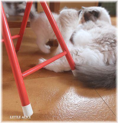☆ラグド-ルの仔猫~楽しい自由時間。_c0080132_11082999.jpg