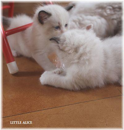 ☆ラグド-ルの仔猫~楽しい自由時間。_c0080132_11091693.jpg