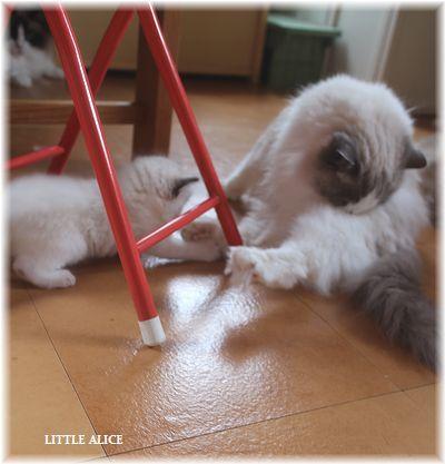 ☆ラグド-ルの仔猫~楽しい自由時間。_c0080132_11112880.jpg