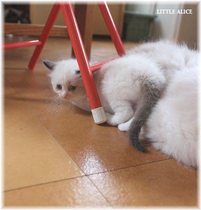 ☆ラグド-ルの仔猫~楽しい自由時間。_c0080132_11121850.jpg