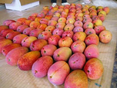 樹上完熟アップルマンゴー 最高級の「煌」&お求めやすいファミリータイプ 最盛期を迎え随時出荷中!_a0254656_16444323.jpg