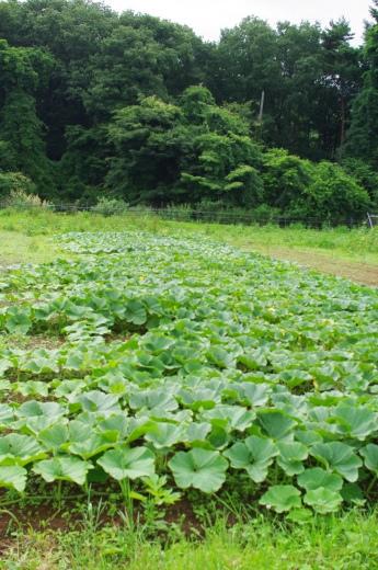 最近のカボチャ畑と、7/23頃から梅雨明け_c0110869_13455417.jpg