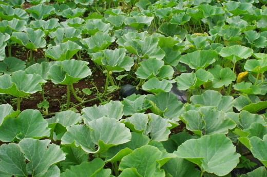 最近のカボチャ畑と、7/23頃から梅雨明け_c0110869_13461425.jpg