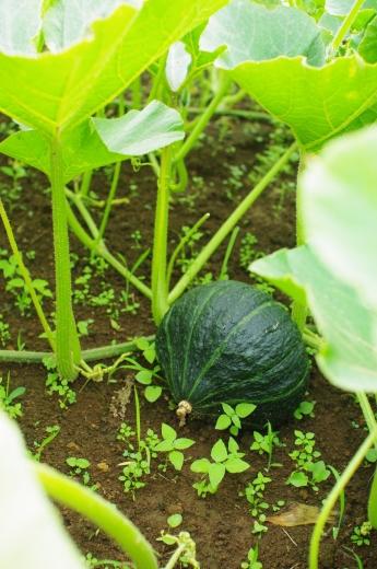 最近のカボチャ畑と、7/23頃から梅雨明け_c0110869_13463102.jpg