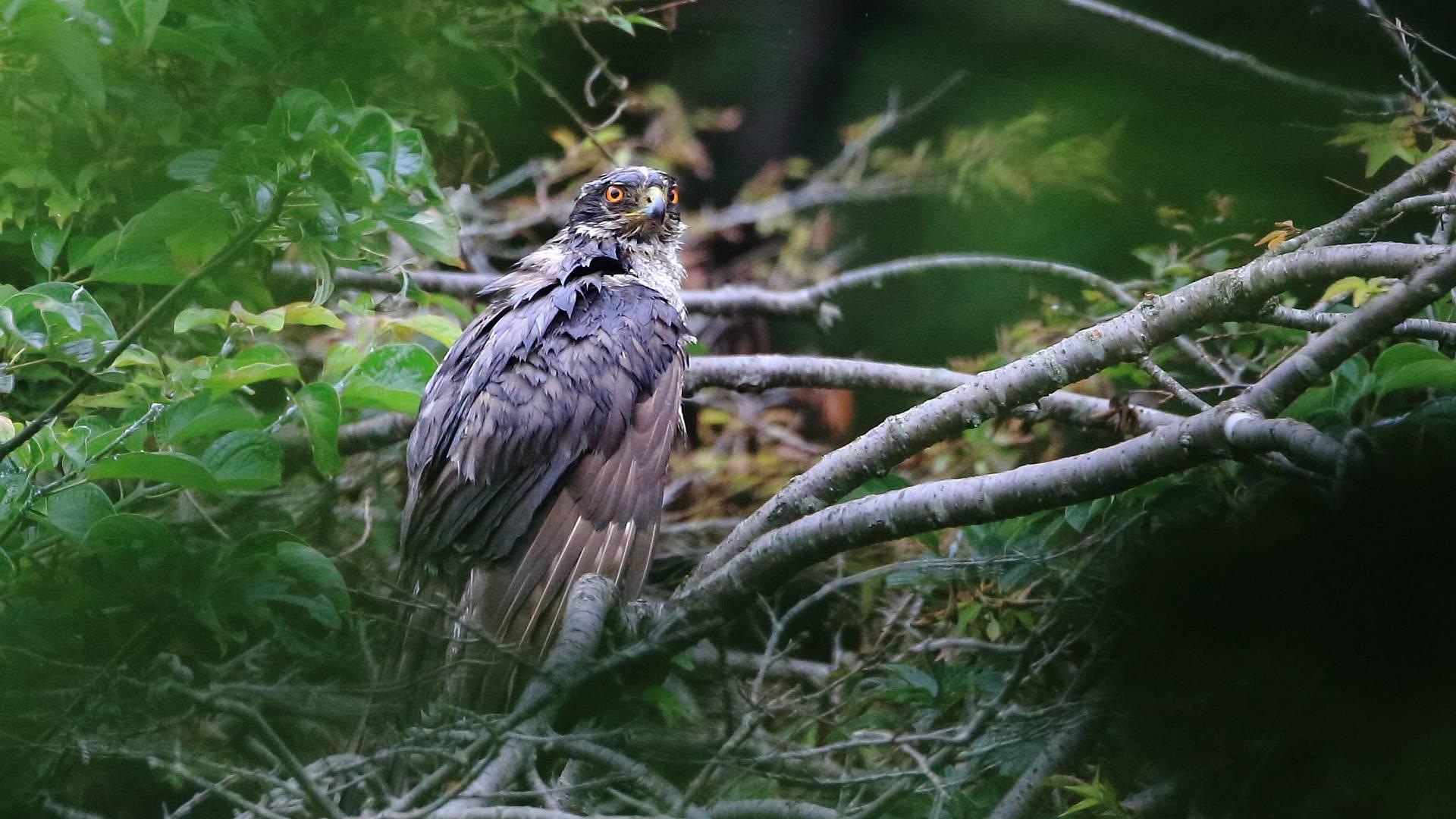 水浴びの後で羽根を乾かすオオタカお父さん_f0105570_20240866.jpg