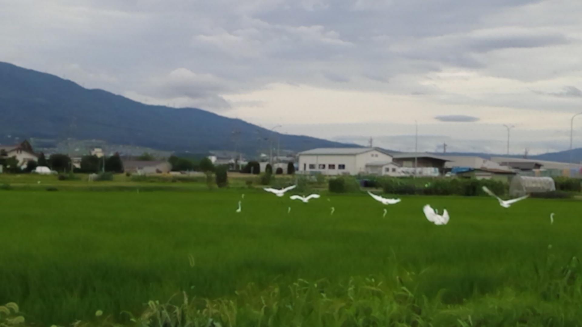 10羽以上の白鷺が❕_d0262085_07454427.jpg