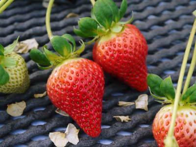 熊本限定栽培品種のイチゴ『熊紅(ゆうべに)』 令和元年度の生産に向け苗床とハウスの様子を取材!後編_a0254656_18121495.jpg