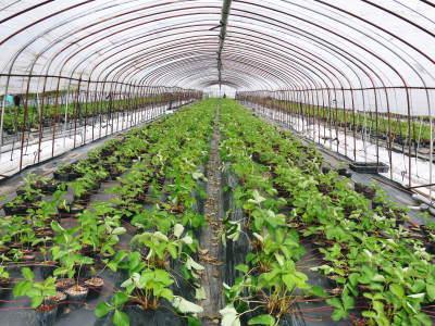 """熊本限定栽培品種のイチゴ『熊紅(ゆうべに)』 令和2年度も美味しさと""""安全性""""にこだわり栽培するために_a0254656_18311799.jpg"""