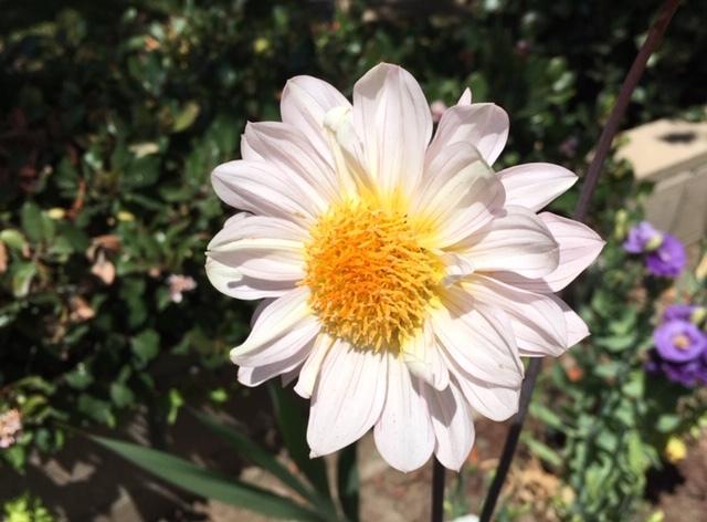 最近の花たちーグラジオラス、ダリア、トルコ桔梗などなど_e0350971_07334721.jpg