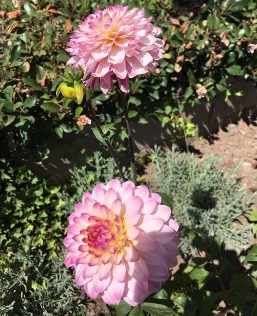 最近の花たちーグラジオラス、ダリア、トルコ桔梗などなど_e0350971_07344029.jpg