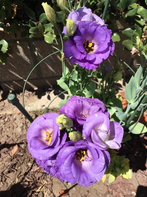 最近の花たちーグラジオラス、ダリア、トルコ桔梗などなど_e0350971_07354619.jpg