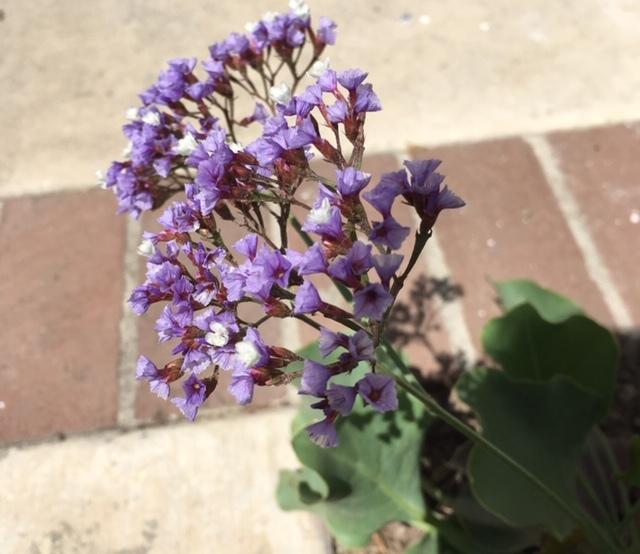 最近の花たちーグラジオラス、ダリア、トルコ桔梗などなど_e0350971_07374509.jpg