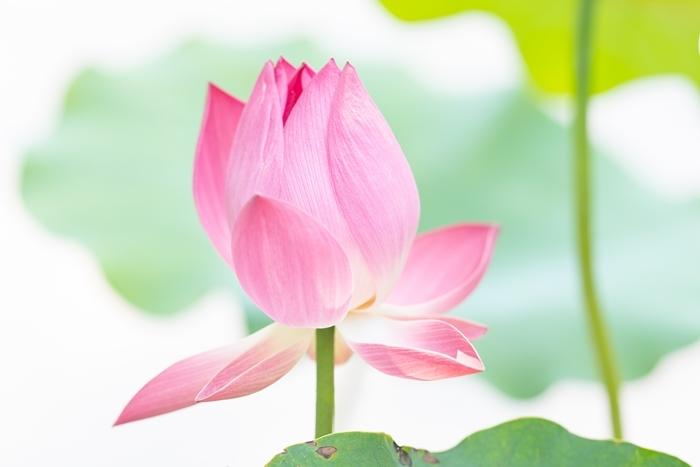 日比谷花壇大船フラワーセンターの蓮_b0145398_22394369.jpg