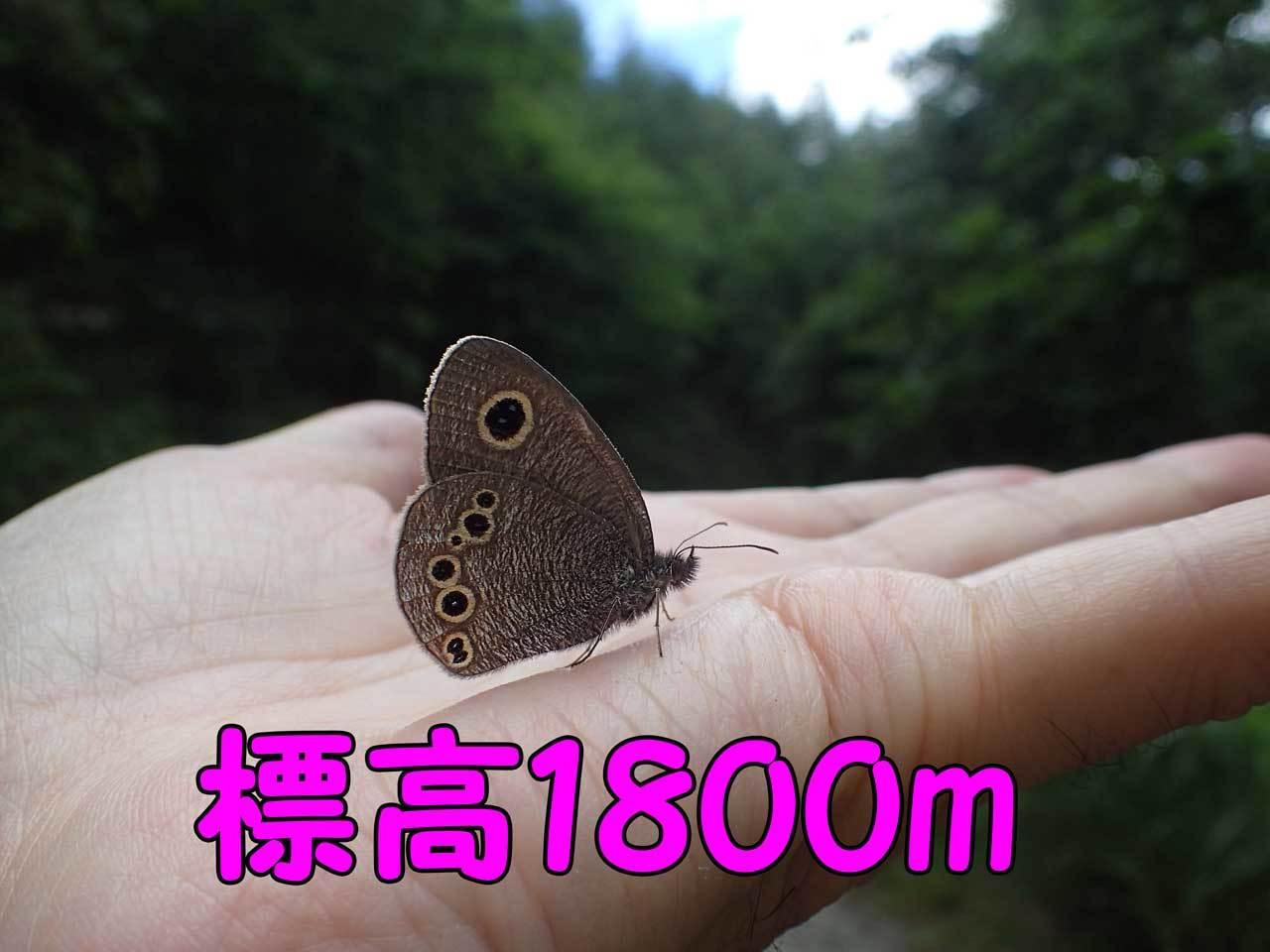 標高1800mのヒメウラナミジャノメ_e0253104_18074581.jpg