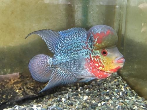2019年7月26日更新の熱帯魚最新入荷情報!_b0141806_23471925.jpeg