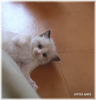 ☆ラグド-ルの仔猫~レオちゃんとライヤちゃん。_c0080132_11540402.jpg