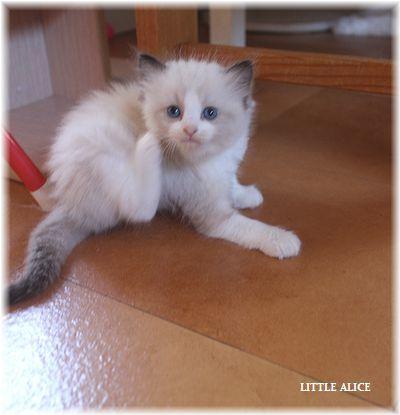 ☆ラグド-ルの仔猫~レオちゃんとライヤちゃん。_c0080132_11572187.jpg