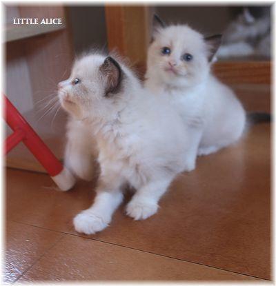 ☆ラグド-ルの仔猫~レオちゃんとライヤちゃん。_c0080132_11580947.jpg