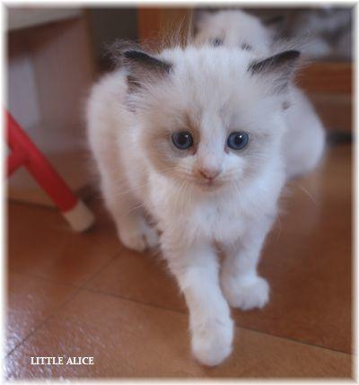 ☆ラグド-ルの仔猫~レオちゃんとライヤちゃん。_c0080132_12001150.jpg