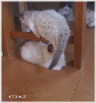☆ラグド-ルの仔猫~レオちゃんとライヤちゃん。_c0080132_12010062.jpg