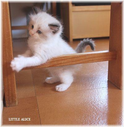 ☆ラグド-ルの仔猫~レオちゃんとライヤちゃん。_c0080132_12121477.jpg
