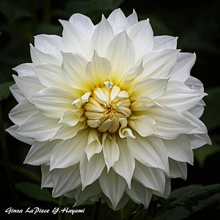 花のある風景 白のダリア_b0133053_00225386.jpg