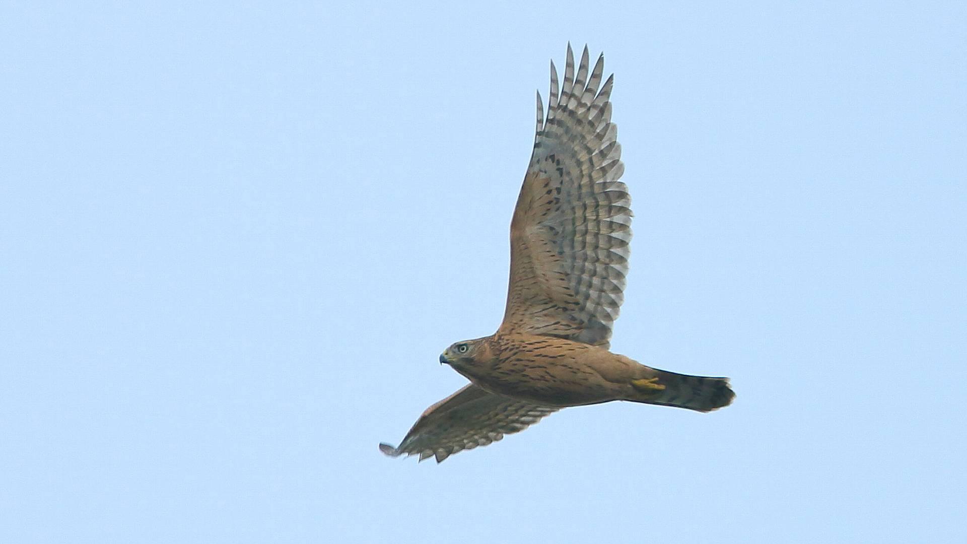 飛距離が伸びてきたオオタカ幼鳥_f0105570_20580501.jpg
