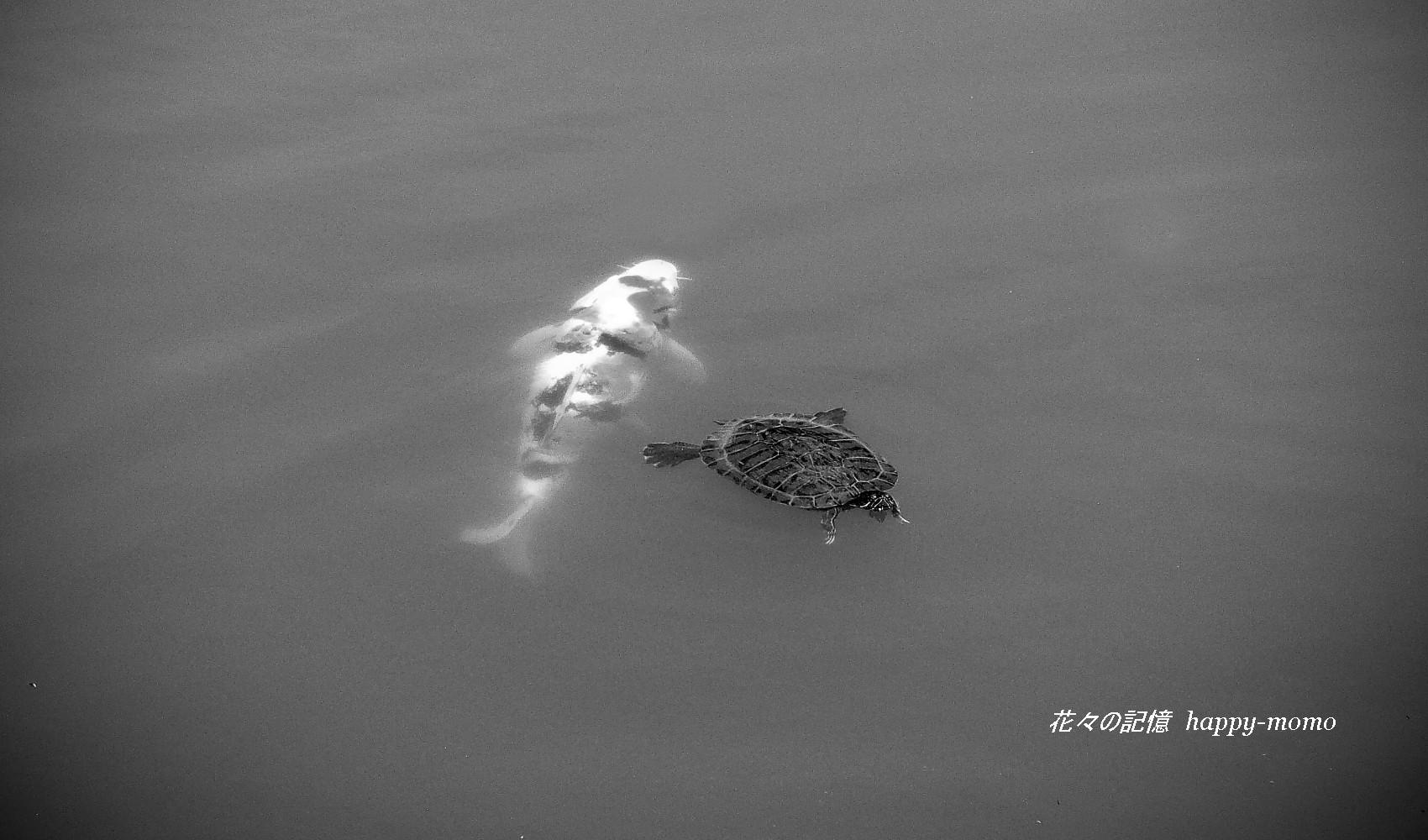 亀と鯉の物語・・・_c0357781_18063486.jpg