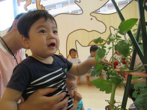 【南品川園】トマトの収穫をしたよ_a0267292_11164588.jpg