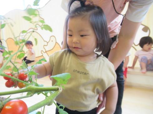 【南品川園】トマトの収穫をしたよ_a0267292_11164962.jpg
