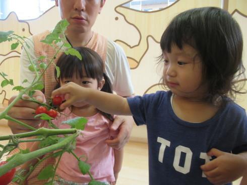 【南品川園】トマトの収穫をしたよ_a0267292_11165317.jpg