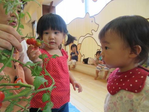 【南品川園】トマトの収穫をしたよ_a0267292_11165844.jpg