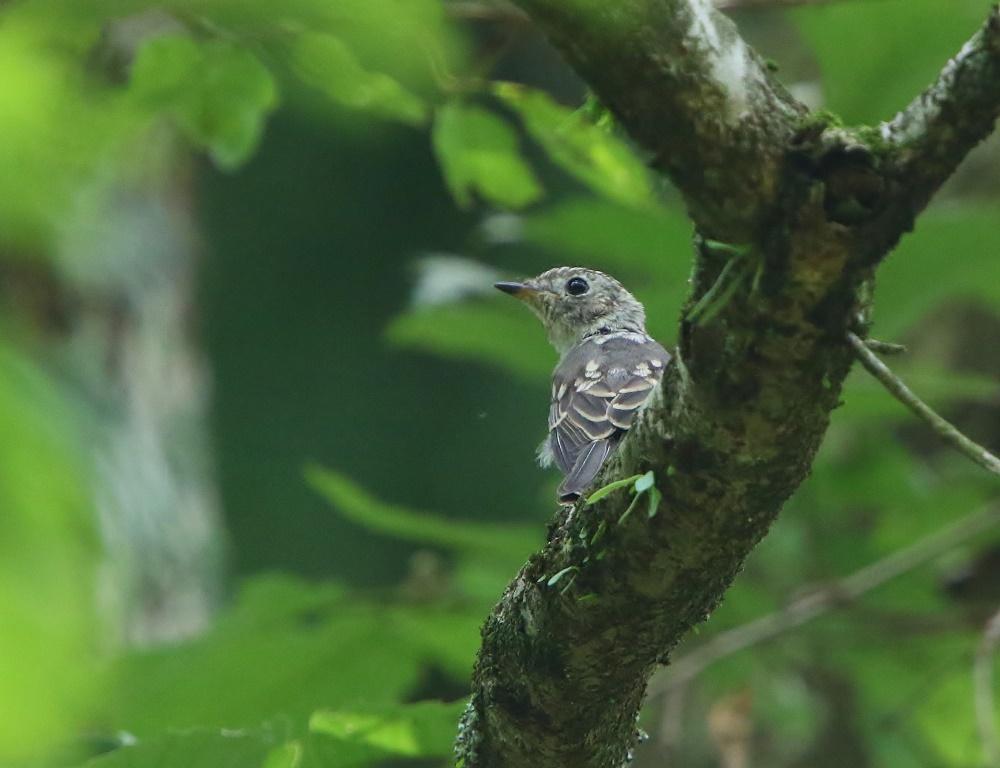 幼鳥たち、、その2,_f0305401_14013910.jpg