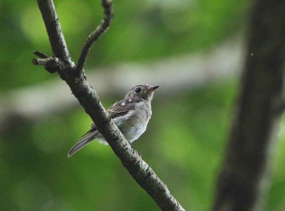 幼鳥たち、、その2,_f0305401_14014540.jpg