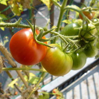 梅雨時にゴーヤをたくさん収穫できました。_c0195909_09233551.jpg