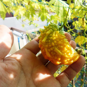 梅雨時にゴーヤをたくさん収穫できました。_c0195909_09234092.jpg
