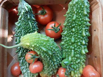 梅雨時にゴーヤをたくさん収穫できました。_c0195909_09242499.jpg