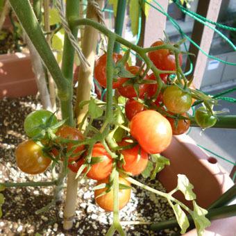 梅雨時にゴーヤをたくさん収穫できました。_c0195909_09244964.jpg