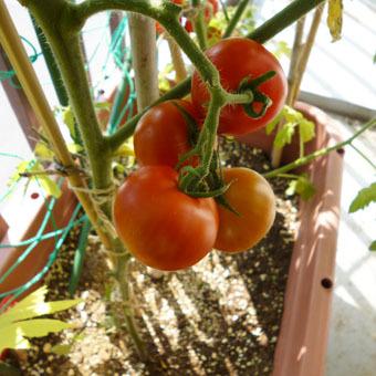 梅雨時にゴーヤをたくさん収穫できました。_c0195909_09245425.jpg