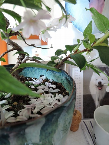 桜色のじゅうたん_c0062832_12520026.jpg