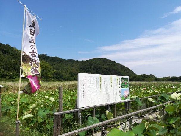 島田島の古代蓮とランチ その1_b0149340_20503154.jpg