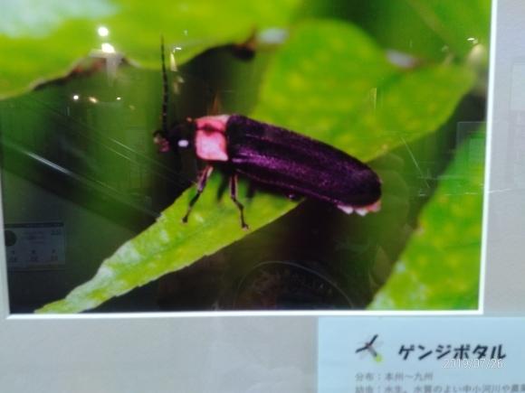 北本自然観察公園のホタル_d0116059_16145464.jpg