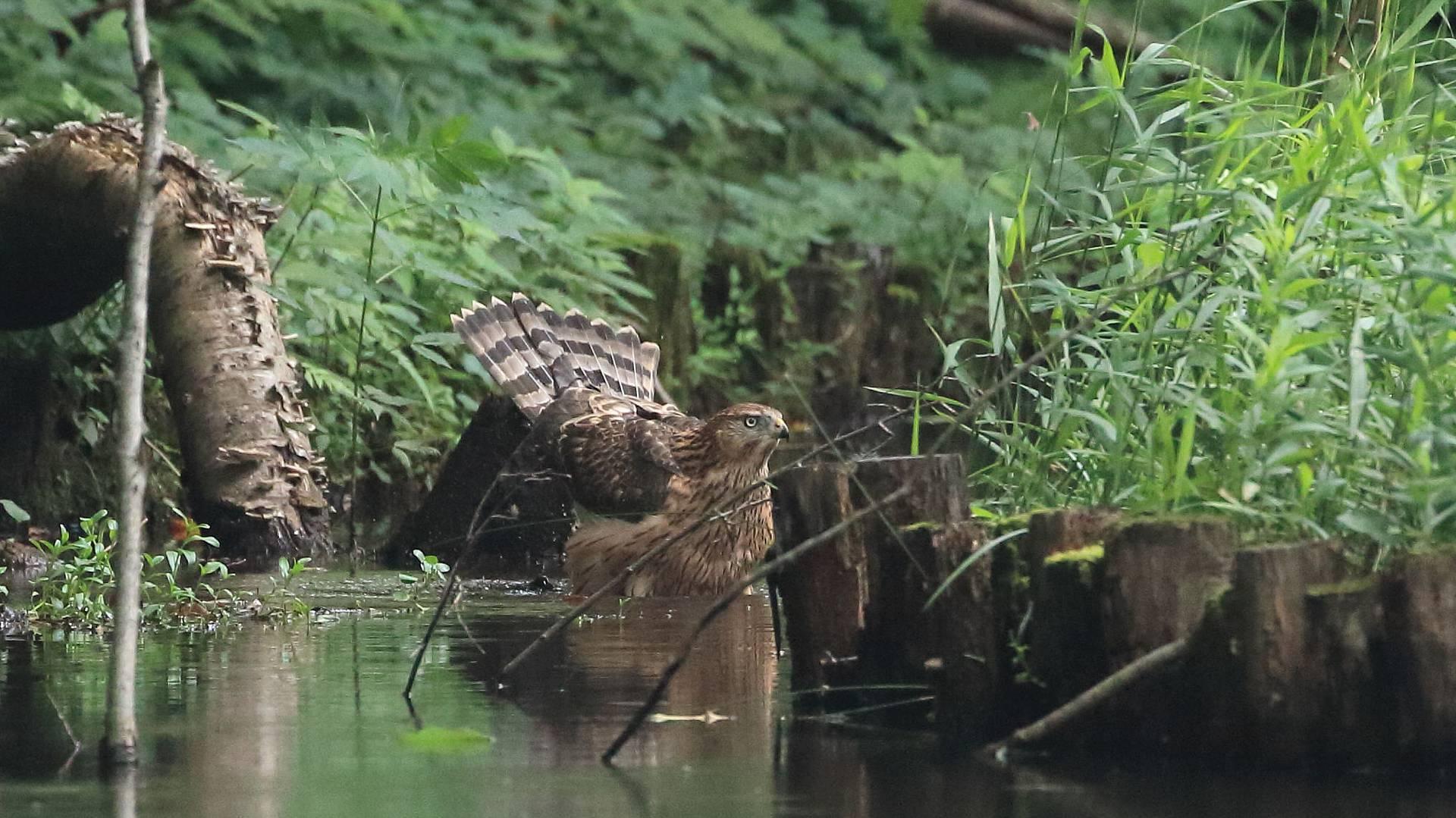 オオタカ幼鳥の水浴びは足元を濡らす程度?_f0105570_21521530.jpg