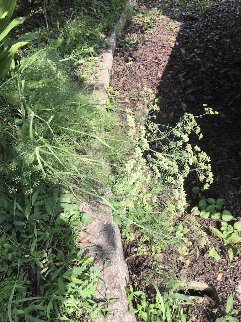 庭のスィートフェンネルをフラスコに_c0334574_20143672.jpg