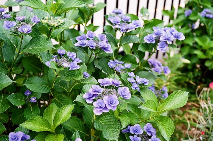 七段花とテッポウユリと Bob Greene のCHEESEBURGERS_c0182775_12583457.jpg